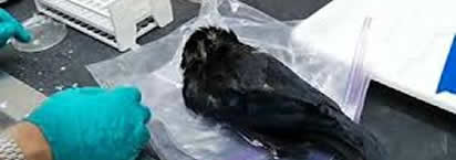 American crow found positive for West Nile Virus